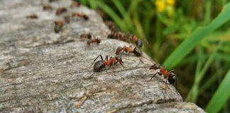 Jak wytępić mrówki?